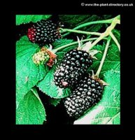 Blackberry Adrienne - Extra Value Pack of 4 plants