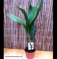 Aspidistra elatior - Cast Iron Plant in 2 litre pot