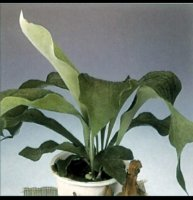 Platycerium bifurcatum Staghorn or Stags Horn Fern - 1 litre
