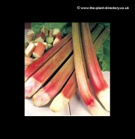 Rhubarb Timperley Early - pack of 2 Crowns