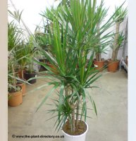 Dracaena marginata 2 stems per pot - 1.2m