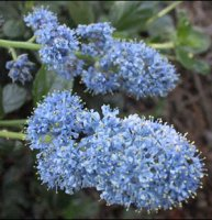 Ceanothus griseus Yankee Point - Californian Lilac