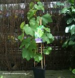 Grape Vines in Pots