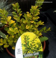 Ilex crenata Golden Gem - Japanese Holly - 1 litre