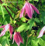 Clematis for Full Shade