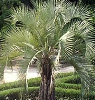 Butia capitata - Jelly Palm - 10 litre