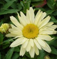 Leucanthemum Broadway Lights - 2 litre
