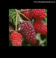 Loganberry Bush - BR - Pack of 4 Plants