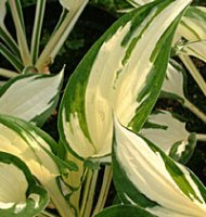 Hosta Patriot - 2 litre