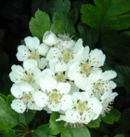 Crataegus monogyna Hawthorn for hedging - pack of 10