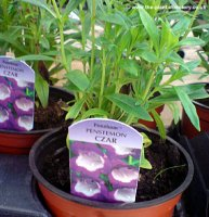 Penstemon Czar