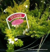 Heather Collection of 6 plants in 1 litre pots
