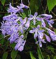Agapanthus africanus Charlotte - African Lily - 2 litre