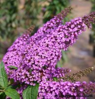 Buddleia Ile de France - 3 litre