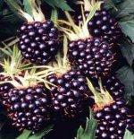 Blackberries - Bare Root