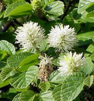 Fothergilla major in 2 litre pot