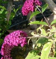 Buddleia Royal Red - 2 litre