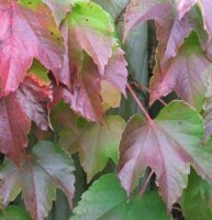 Parthenocissus tricuspidata Veitchii - Boston Ivy