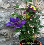 Clematis All Types