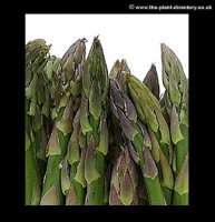 Asparagus Ariane - pack of 5 plants