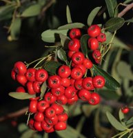 Pyracantha Red Column - 3 litre