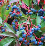 Virginia Creeper- Parthenocissus