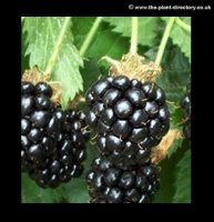 Blackberry Waldo - Extra Value Pack of 4 Plants