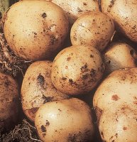 Early Seed Potatoes - Pentland Javelin - 1kg