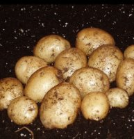 Early Seed Potatoes - Home Guard - 1kg