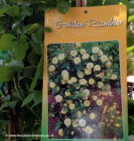 Rambling Rose Easleas Golden Rambler - 7.5 litre