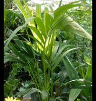 Howea forsteriana - Kentia Palm - 1.0m+