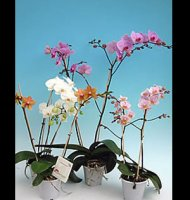 Phalaenopsis 'Moth Orchid' - shell pink