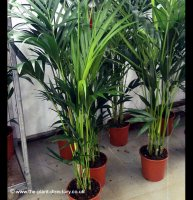 Howea forsteriana - Kentia Palm - 1.5m+