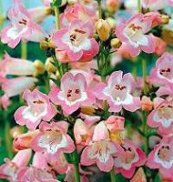 Penstemon in Mixed Colours