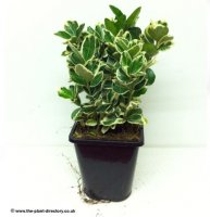 Euonymus Emerald Gaiety - 1.5 litre