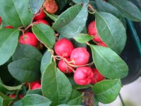 Gaultheria procumbens - Partridge Berry - 10cm pot