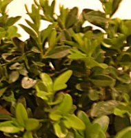 Buxus sempervirens for Box Hedging - Bare Root plants