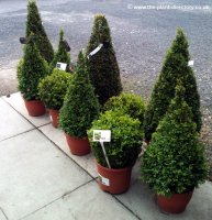 Buxus sempervirens - Box Tree Ball - 35cm