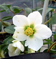 Helleborus niger 'The Christmas Rose' - 1 litre