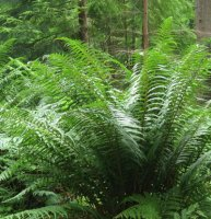 Dryopteris affinis - Scaly Male Fern - 2 litre