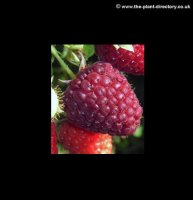 Raspberry Glen Prosen (Mid Season) - pack of 5 Canes
