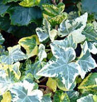 Hedera - Green and White Trailing Ivy in 7cm pot