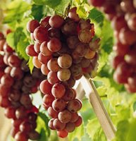 Autumn Royal Seedless Grape Vine - 3 litre