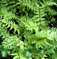 Cyrtomium fortunei - Japanese Holly Fern - 10.5cm