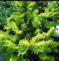 Taxus baccata Summergold - Golden English Yew - 2 litre