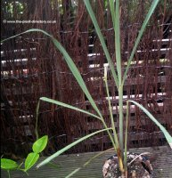 Thai Lemon Grass Growing Plant - 3 litre