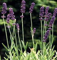 English Lavender - Hidcote - 12cm pot