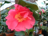 Camellia Lady Campbell - 2 litre