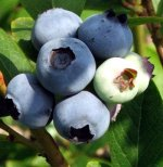 Blueberries - Bare Root
