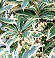 Pieris japonica Variegated Little Heath - 1 litre